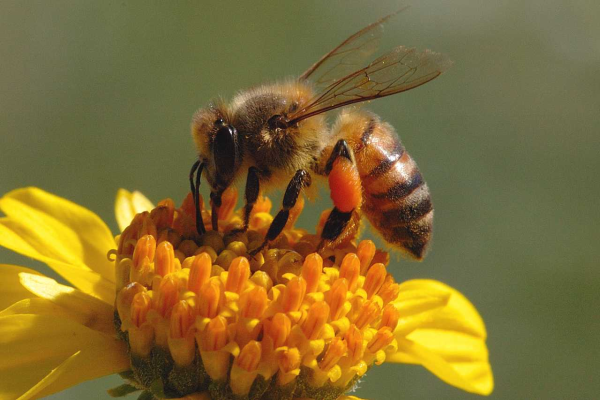 honeybee resized 600