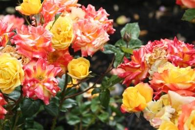 rose garden resized 600