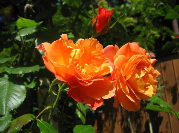 roses flowers garden sunny close up 41010 1920x1420 resized 600