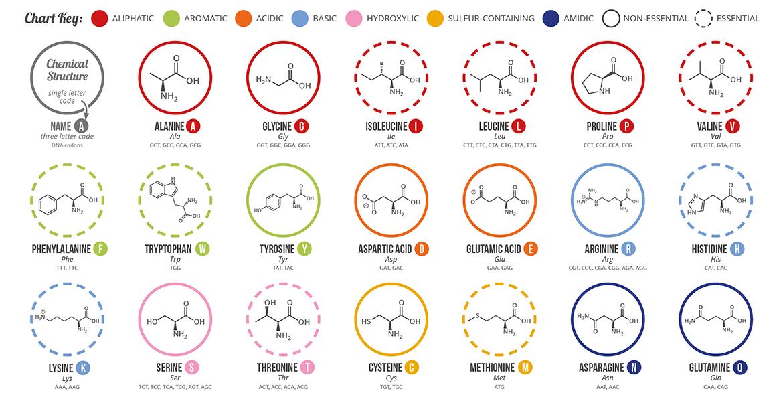 Amino-Acids-infograph