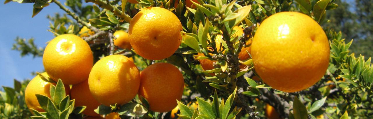citrus-crop