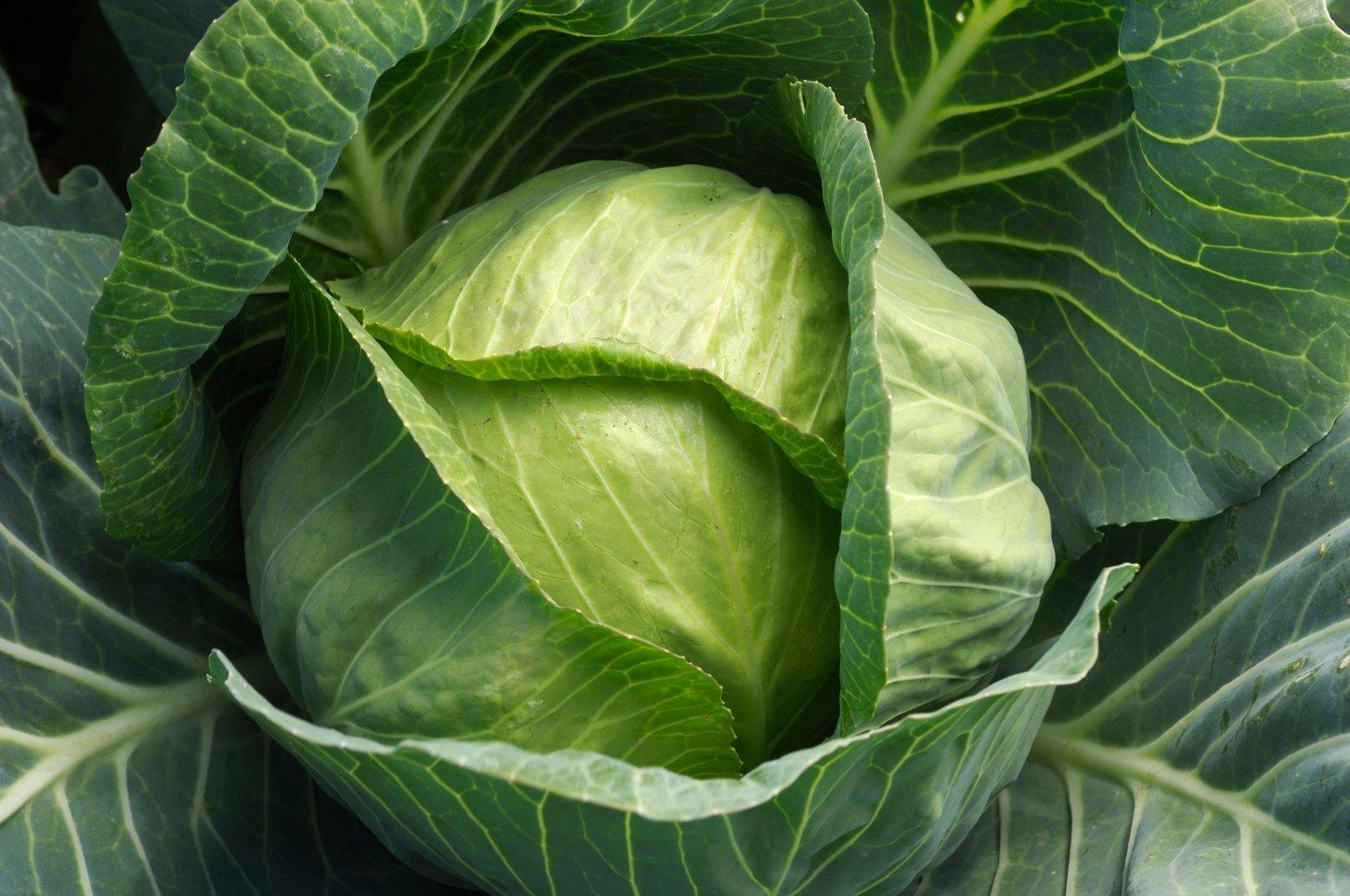 cabbage-leaves.jpg