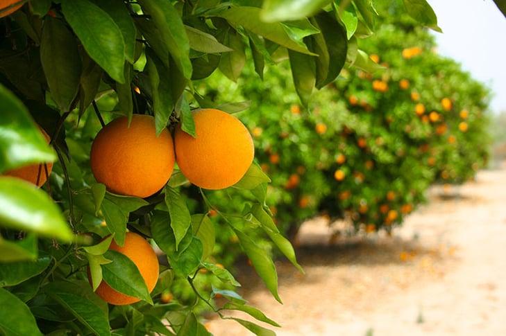 orange-grove.jpg